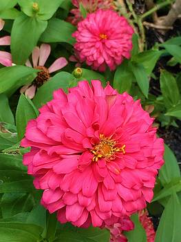Zinnias by Kay Gilley