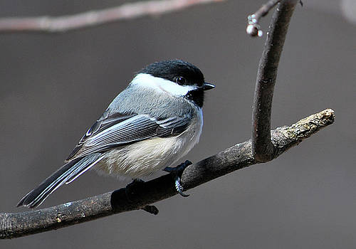 Zoomed Chickadee by Robert Goulet