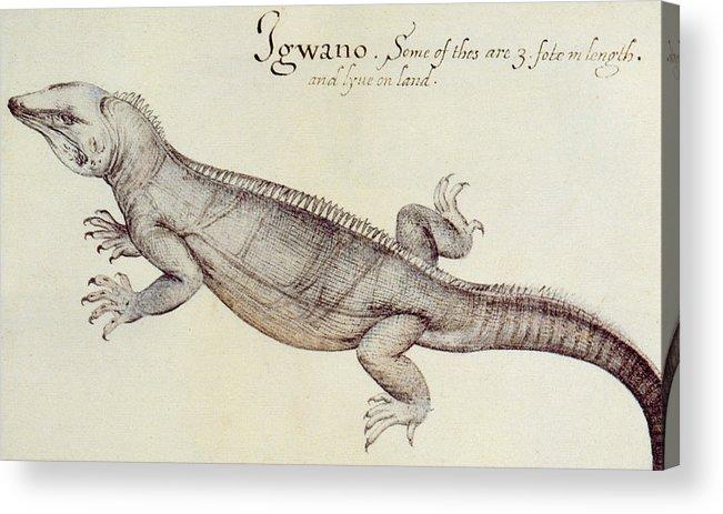 Iguana Acrylic Print featuring the painting Iguana by John White