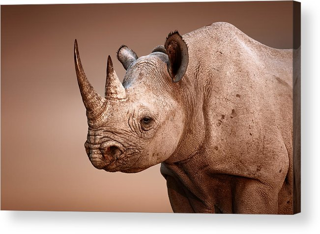 Rhinoceros Acrylic Print featuring the photograph Black Rhinoceros Portrait by Johan Swanepoel