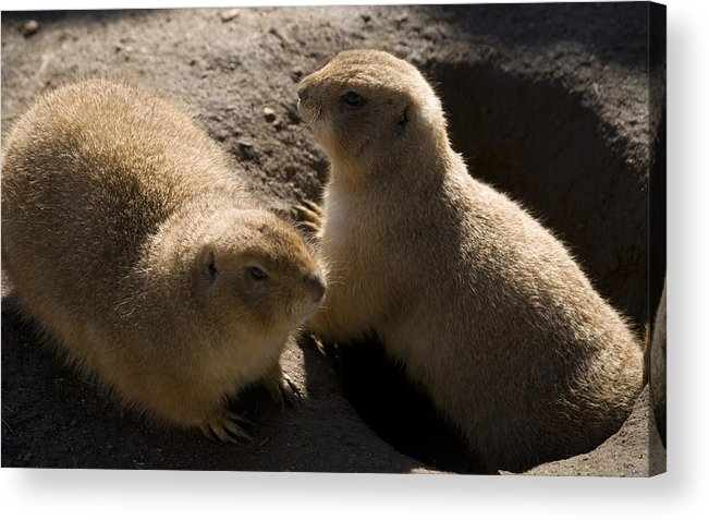 Prairie Dog Acrylic Print featuring the photograph Little Dogs On The Prairie by Trish Tritz
