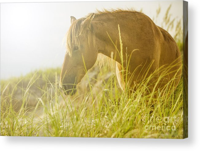 Wild Horse Acrylic Print featuring the photograph Wild Horse On The Outer Banks by Diane Diederich