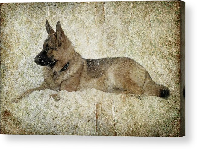 German Shepherd Dog Acrylic Print featuring the photograph Enjoying The Snow by Sandy Keeton