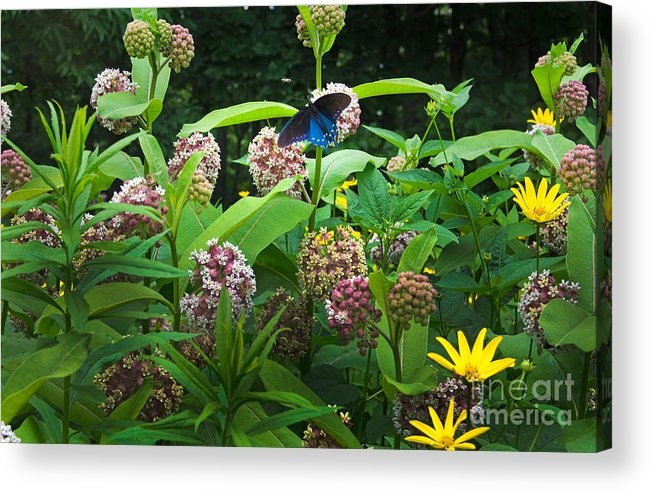 Common Milkweed Acrylic Print featuring the photograph Wildflower Meadow by Kenneth Murray