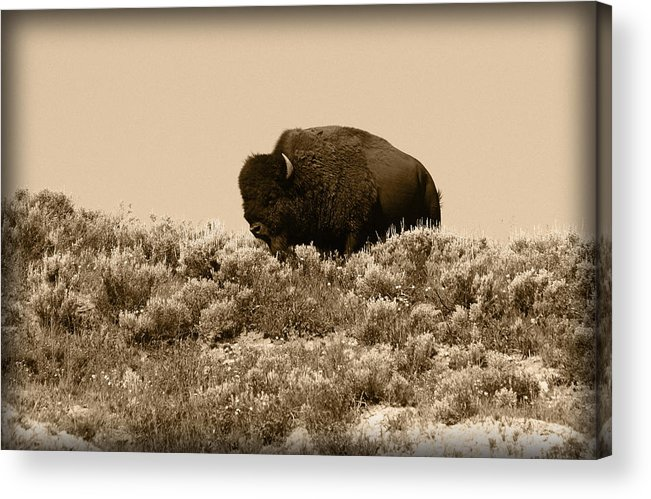 Buffalo Acrylic Print featuring the photograph Old Timer by Shane Bechler