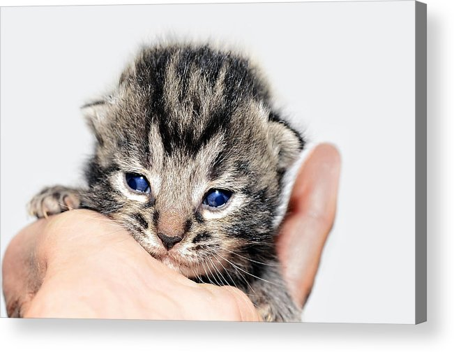 Cat Acrylic Print featuring the photograph Kitten In A Hand by Susan Leggett