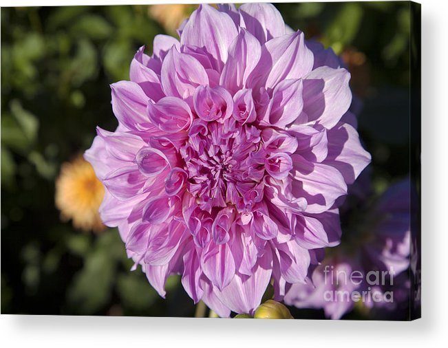 Bloom Acrylic Print featuring the photograph Pink Dahlia by Peter French