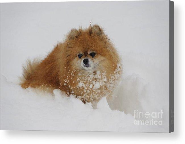 Pomeranian Acrylic Print featuring the photograph Pomeranian In Snow by John Shaw