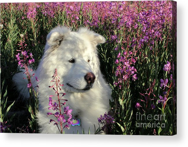 Samoyed Acrylic Print featuring the photograph Shadows by Fiona Kennard