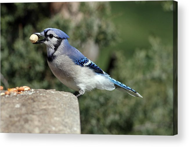 Bluejay Acrylic Print featuring the photograph Bluejay by Jim Nelson