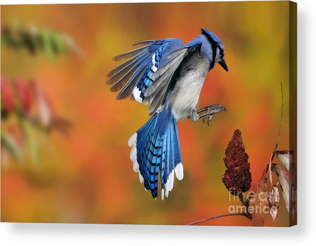 Blue Jay Acrylic Print featuring the photograph Blue Jay by Scott Linstead
