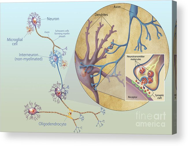 No People Acrylic Print featuring the digital art Anatomy Of Neurons by Carlyn Iverson