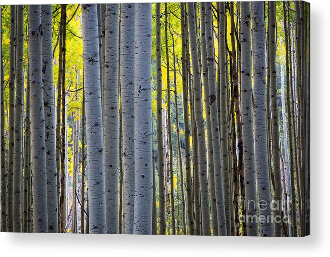 America Acrylic Print featuring the photograph Aspen Trunks by Inge Johnsson