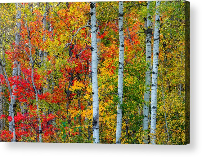 autumn Palette hawk Ridge lester Park lake Superior duluth minnesota fall Color Birch seven Bridges Rd Trees Nature greeting Cards mary Amerman Acrylic Print featuring the photograph Autumn Palette by Mary Amerman