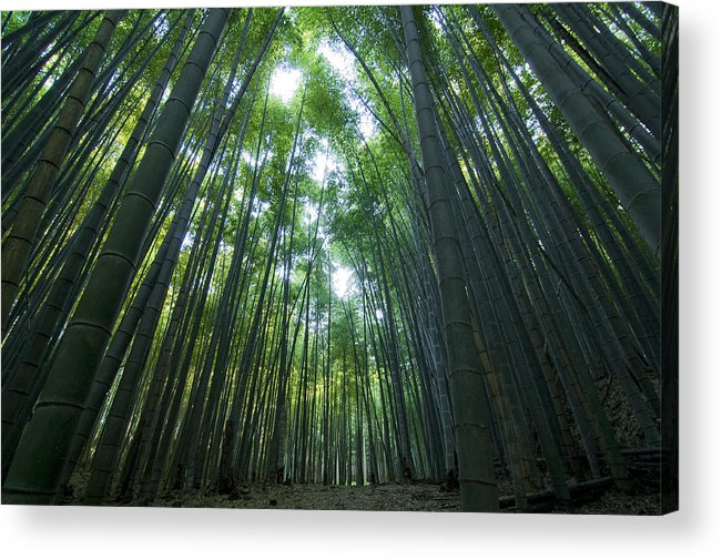 Bamboo Acrylic Print featuring the photograph Bamboo Forest by Aaron S Bedell