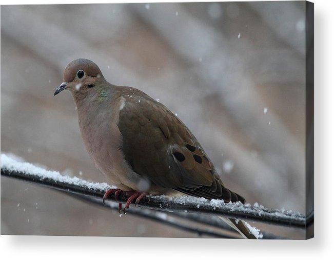 Bird Acrylic Print featuring the photograph Bird In Snow - Animal - 011310 by DC Photographer