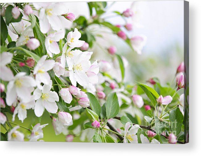 Apple Acrylic Print featuring the photograph Blooming Apple Tree by Elena Elisseeva