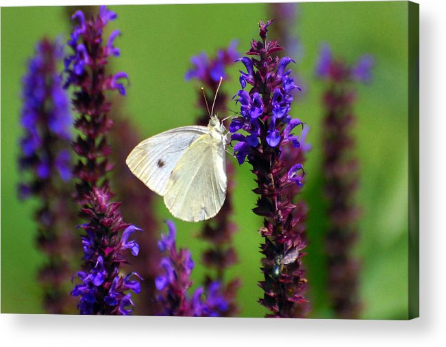 Nature Acrylic Print featuring the photograph Cabbage White Butterfly by Christina Rollo