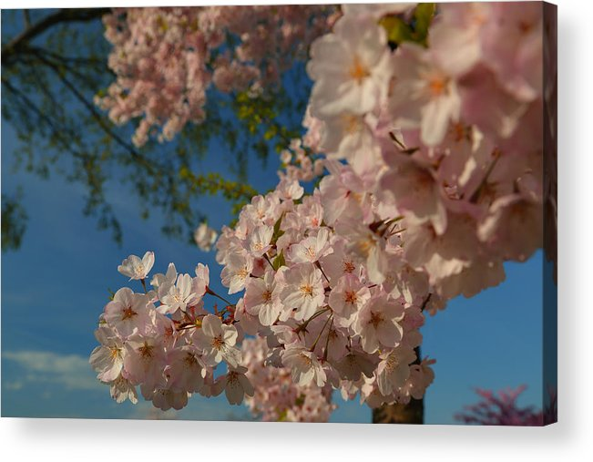 Architectural Acrylic Print featuring the photograph Cherry Blossoms 2013 - 035 by Metro DC Photography