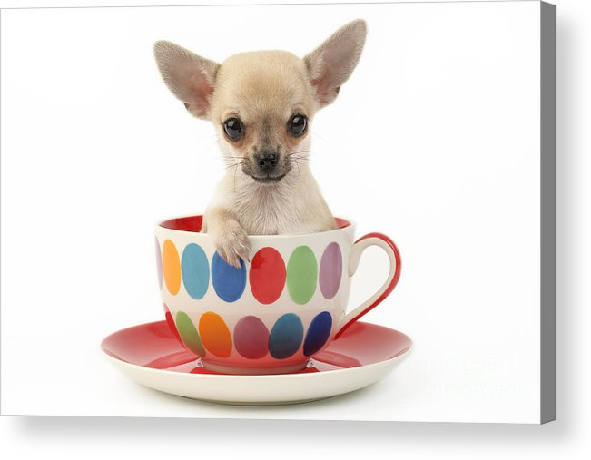 Chihuahua Acrylic Print featuring the digital art Chihuahua In Cup Dp684 by Greg Cuddiford