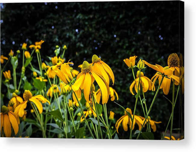 Echinacea Acrylic Print featuring the photograph Coneflowers Echinacea Yellow Painted by Rich Franco