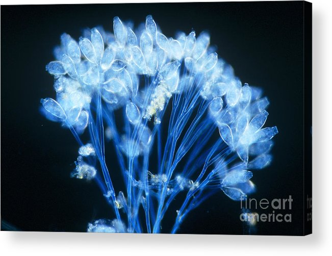 Microorganism Acrylic Print featuring the photograph Epistylis by Michael Abbey