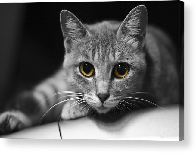 Cat Acrylic Print featuring the photograph Eyes Open Wide by JianGang Wang
