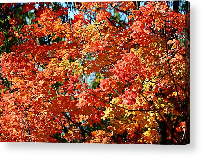 Metro Acrylic Print featuring the photograph Fall Foliage Colors 22 by Metro DC Photography