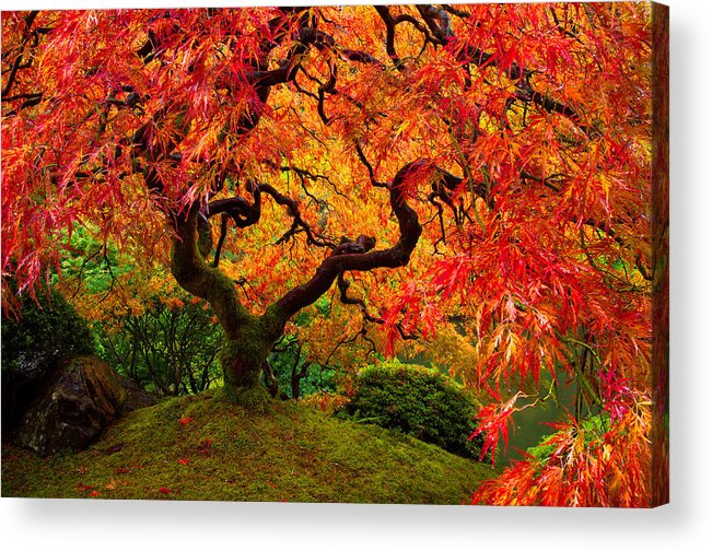 Portland Acrylic Print featuring the photograph Flaming Maple by Darren White