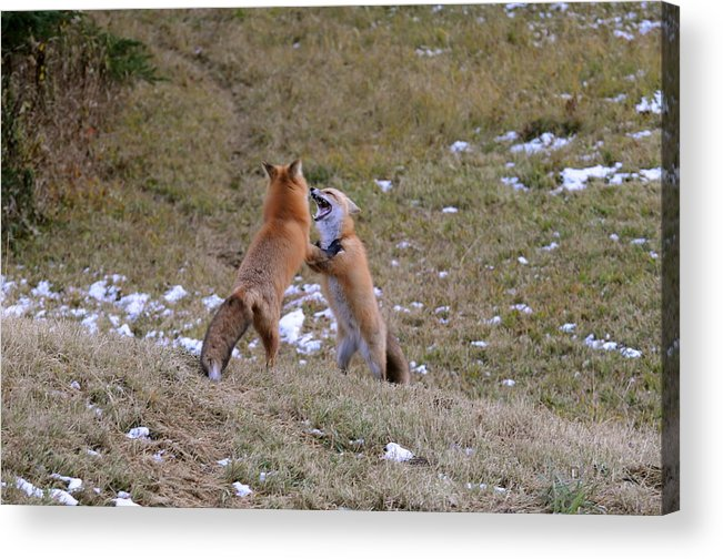 Red Foxes   Foxes Interacting Acrylic Print featuring the photograph Fox Dance by Sandra Updyke