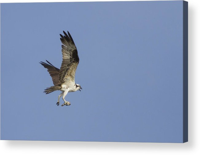 Bird Of Prey Acrylic Print featuring the photograph Fresh Catch by Charles Warren