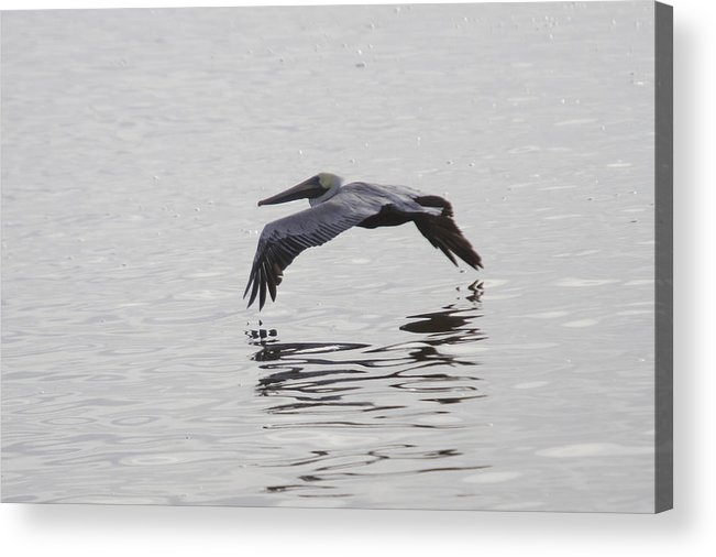 Pelican Acrylic Print featuring the photograph Glide by Charles Warren