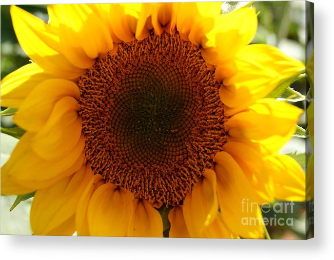 Agriculture Acrylic Print featuring the photograph Golden Ratio Sunflower by Kerri Mortenson