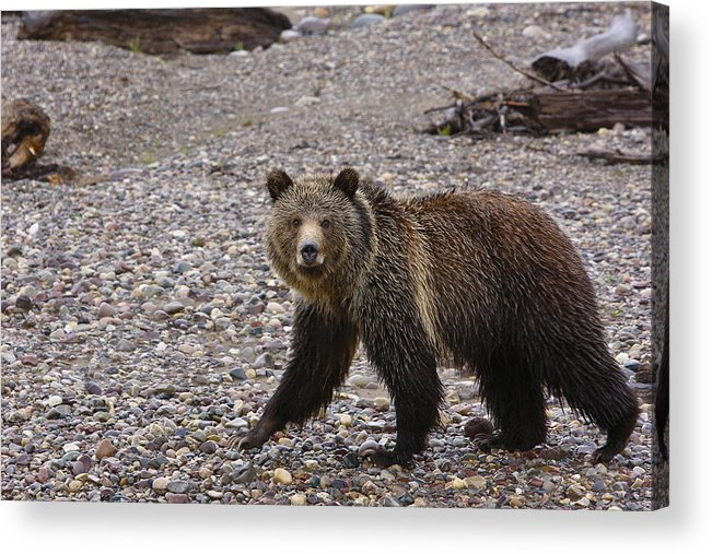 Grizzly Bear Acrylic Print featuring the pyrography Grizzly Bear by Charles Warren