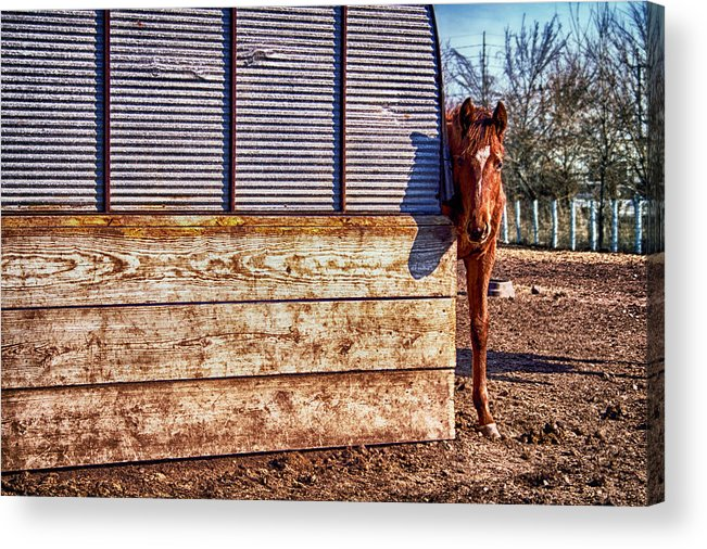 Horse Acrylic Print featuring the photograph Hidden Horse by Ian Van Schepen