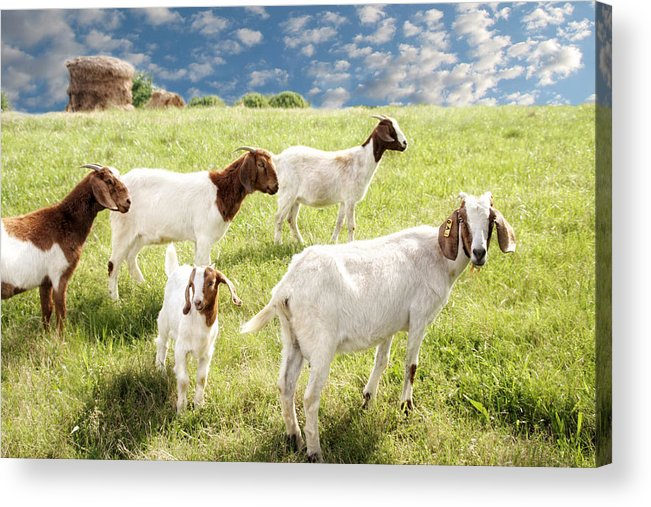 Goat Acrylic Print featuring the photograph Homeward Bound by Amy Tyler
