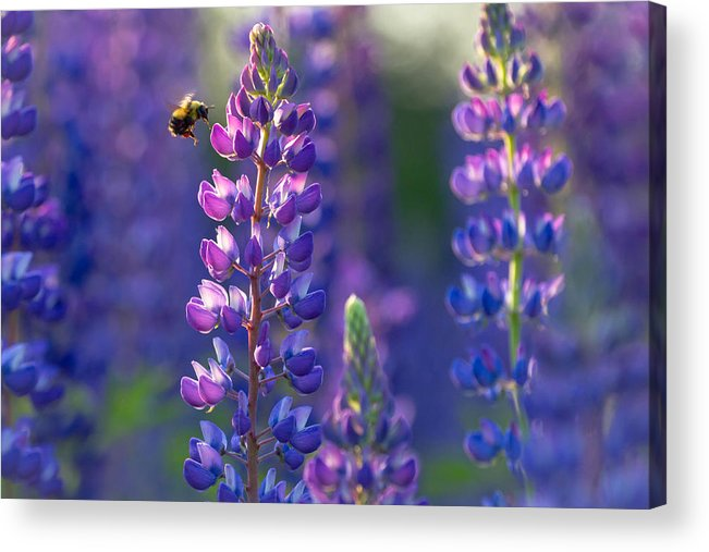 Lupine Acrylic Print featuring the photograph In The Land Of Lupine by Mary Amerman