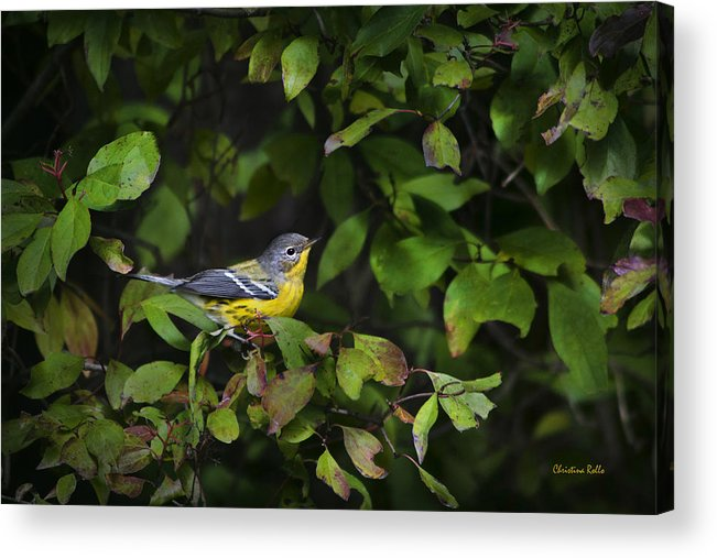 Bird Acrylic Print featuring the photograph Magnolia Warbler by Christina Rollo