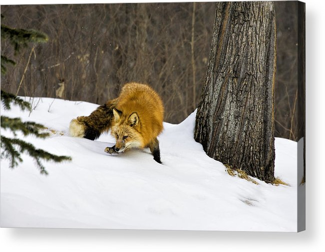 Fox Acrylic Print featuring the photograph Mousing by Jack Milchanowski