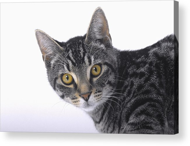House Pet Acrylic Print featuring the photograph Portrait Of A Grey Tabby Catvancouver by Thomas Kitchin & Victoria Hurst