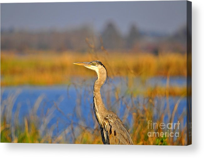 Heron Acrylic Print featuring the photograph Proud Profile by Al Powell Photography USA