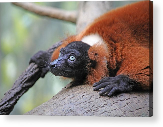 Red-ruffed Lemur Acrylic Print featuring the photograph Red-ruffed Lemur by Karol Livote