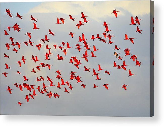 Scarlet Ibis Acrylic Print featuring the photograph Scarlet Sky by Tony Beck