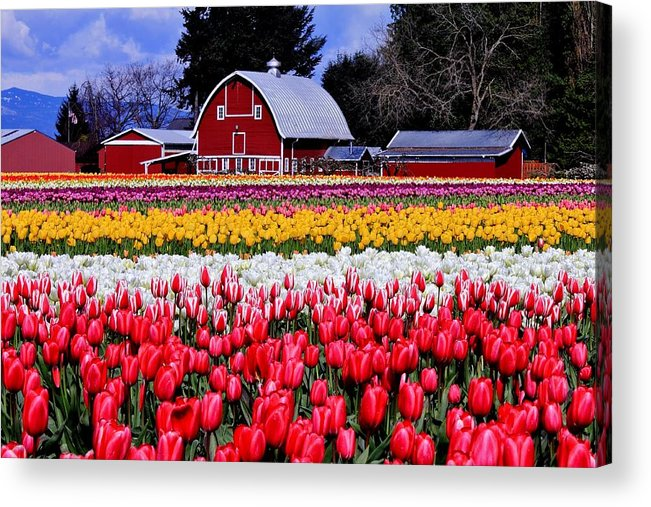 Tulips Acrylic Print featuring the photograph Skagit Valley by Benjamin Yeager