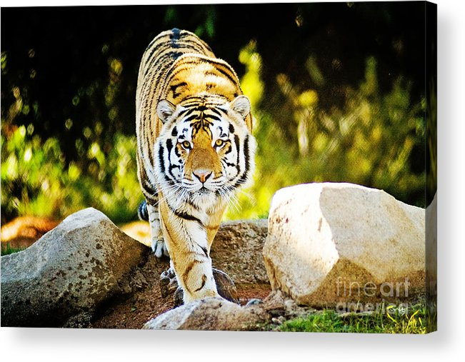 Nature Acrylic Print featuring the photograph Stalker by Scott Pellegrin