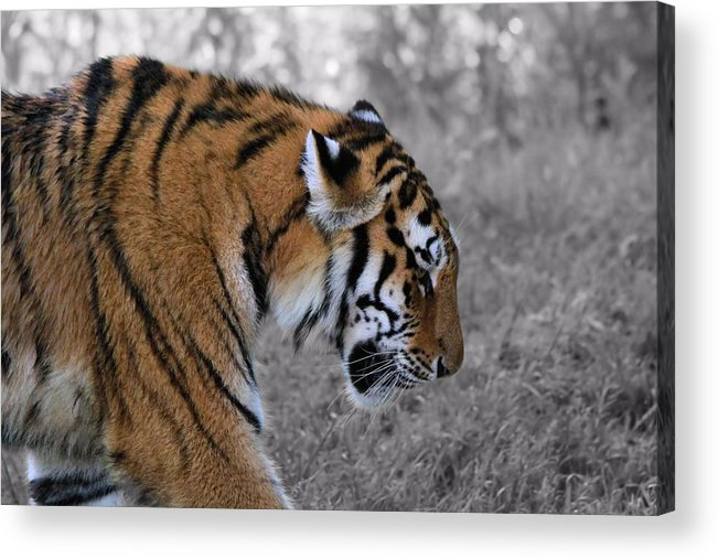 The Tiger Acrylic Print featuring the photograph Stalking Tiger by Dan Sproul