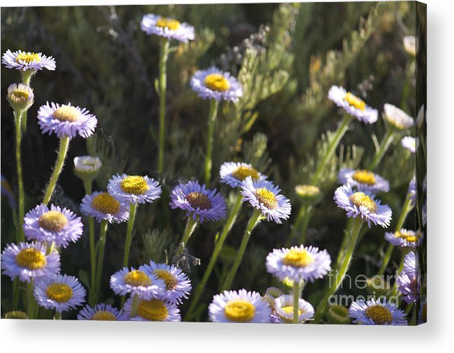 Suisun Marsh Aster Acrylic Print featuring the photograph Suisun Marsh Aster In The Morning Light by Artist and Photographer Laura Wrede