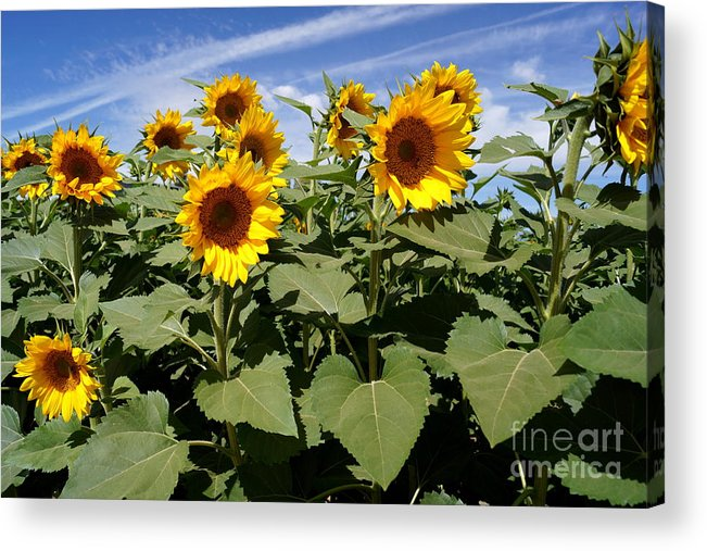 Agriculture Acrylic Print featuring the photograph Sunflower Field by Kerri Mortenson