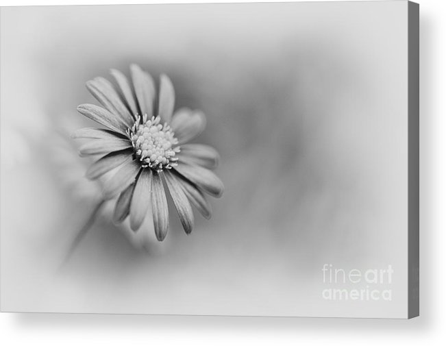 Swan River Daisy Acrylic Print featuring the photograph Swan River Daisy Monochrome by Tim Gainey
