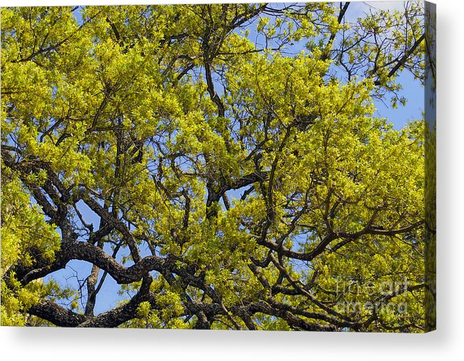 Leaves Acrylic Print featuring the photograph Tangled In Time by Pamela Gail Torres